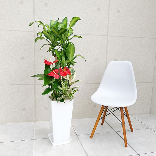 ドラセナマッサン(幸福の木)の寄せ植え 陶器鉢植え・Lサイズ