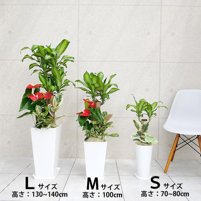 ドラセナマッサン(幸福の木)の寄せ植え 大きさの比較