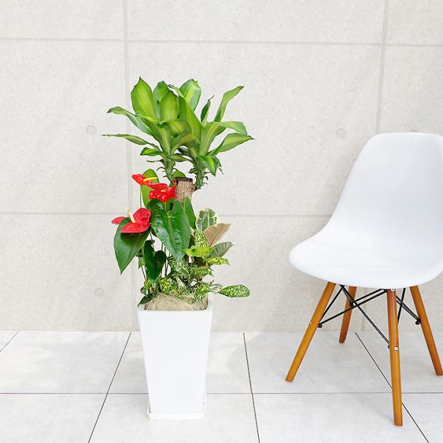 ドラセナマッサン(幸福の木)の寄せ植え 陶器鉢植え・Mサイズ