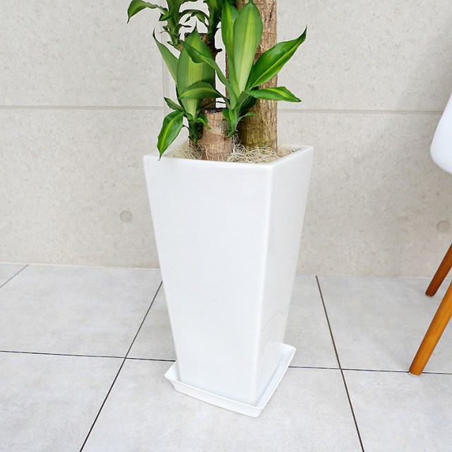 ドラセナマッサン(幸福の木) 陶器鉢の写真