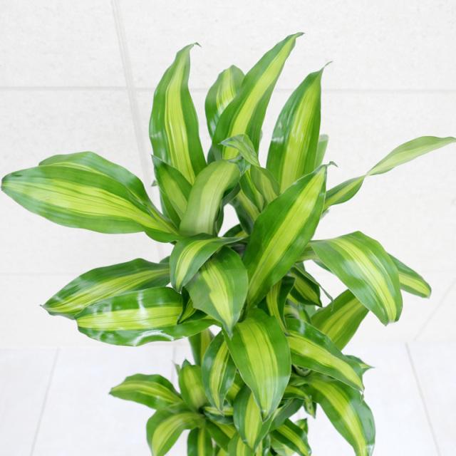 ドラセナマッサン(幸福の木) 葉の写真