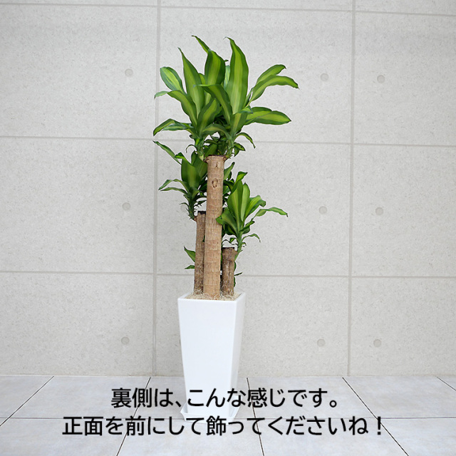 ドラセナマッサン(幸福の木) 陶器鉢植え・Lサイズ 裏の写真