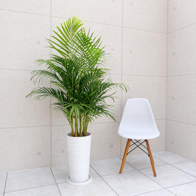 スーパーアレカヤシ 樹脂製鉢植え・LLサイズ