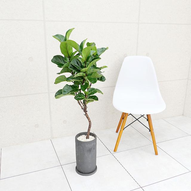 カシワバゴム 陶器鉢植え(プチトール)