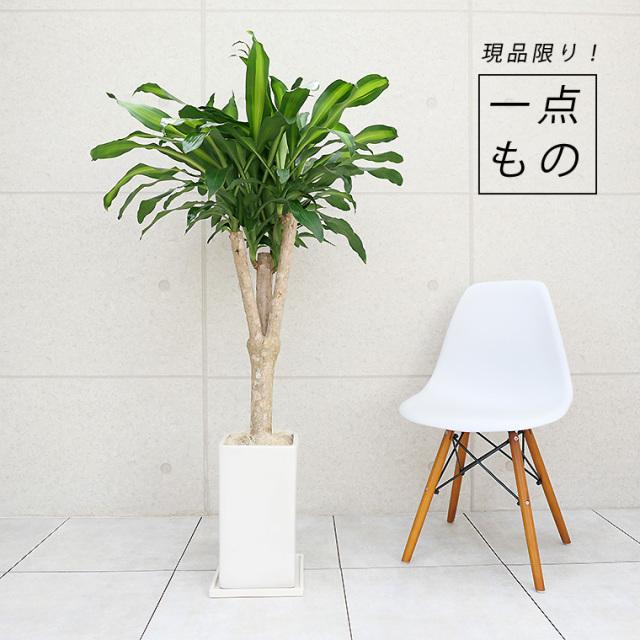 ドラセナマッサン(幸福の木)-001 陶器鉢植え・Lサイズ(マットシリーズ/プリズム)