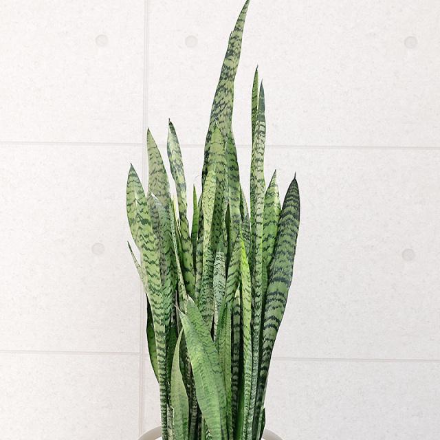 サンスベリア・ゼラニカ 葉の写真