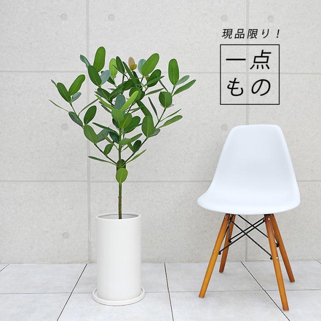 フクギ-007 陶器鉢植え・Lサイズ(マットシリーズ/シリンダー)