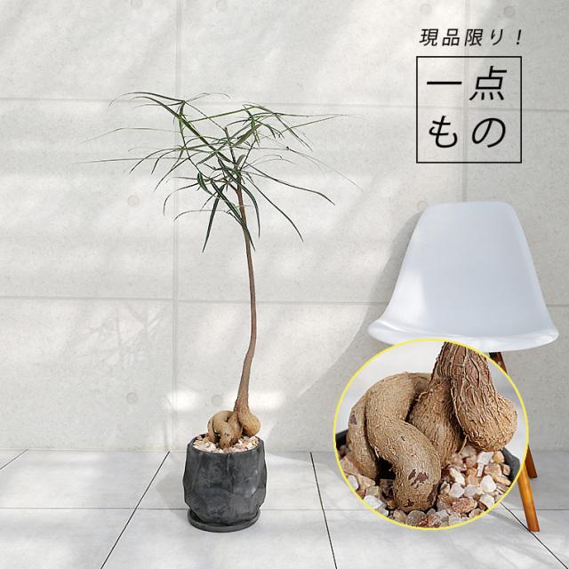 ブラキキトン(ボトルツリー)-001 陶器鉢植え(カルストシリーズ)