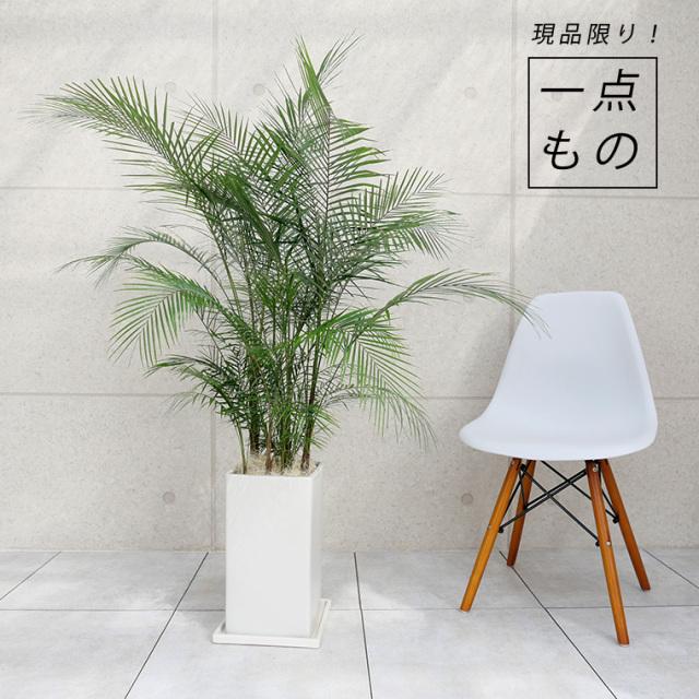 ブラジルヒメヤシ-001 陶器鉢植え・Lサイズ(マットシリーズ/プリズム)