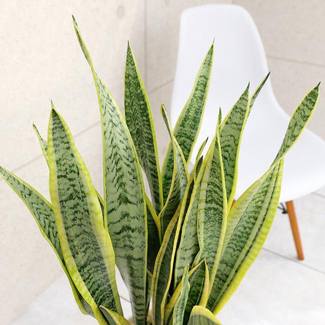 サンスベリア・ローレンティー 陶器鉢植え・Mサイズ(マットシリーズ/シリンダー) 葉の写真