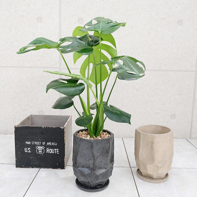 モンステラ 陶器鉢植え(カルストシリーズ/トール)