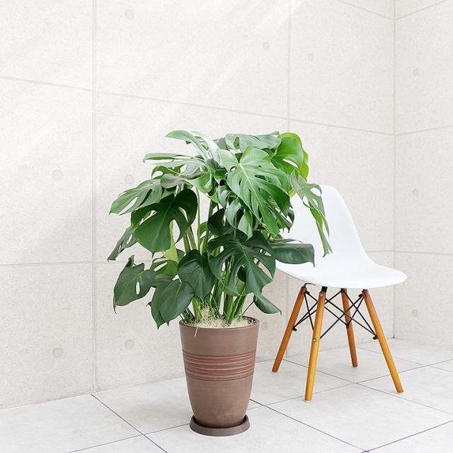 モンステラ 樹脂製鉢植え(11VH25)