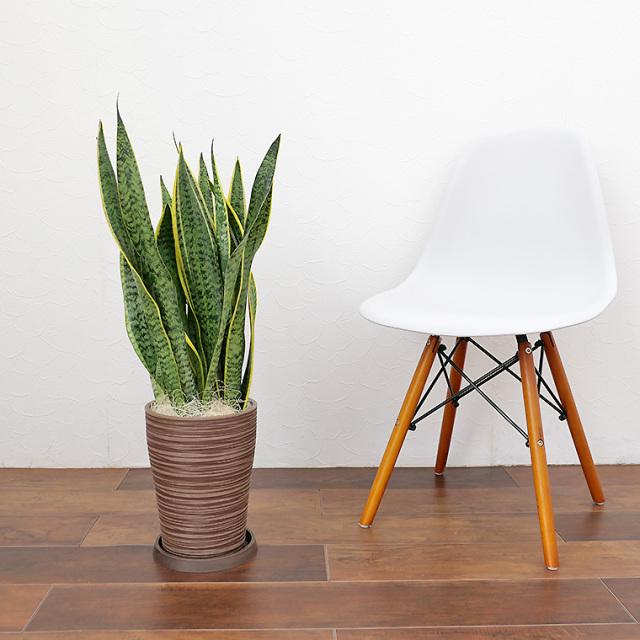 サンスベリア・ローレンティー 樹脂製鉢植え(12A20)