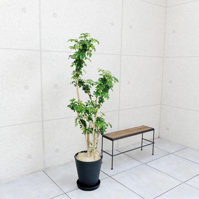 シェフレラ・レナータ(金魚葉ホンコン) 8号セラート鉢