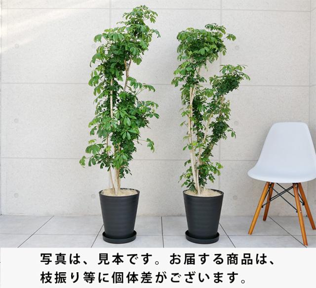 シェフレラ・レナータ(金魚葉ホンコン) 10号セラート鉢