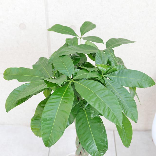 パキラ 陶器鉢植え・Mサイズ(マットシリーズ/シリンダー)