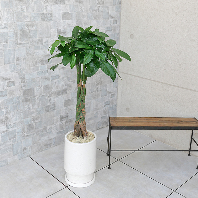 パキラ 陶器鉢植え・Mサイズ(フロウ/トール)