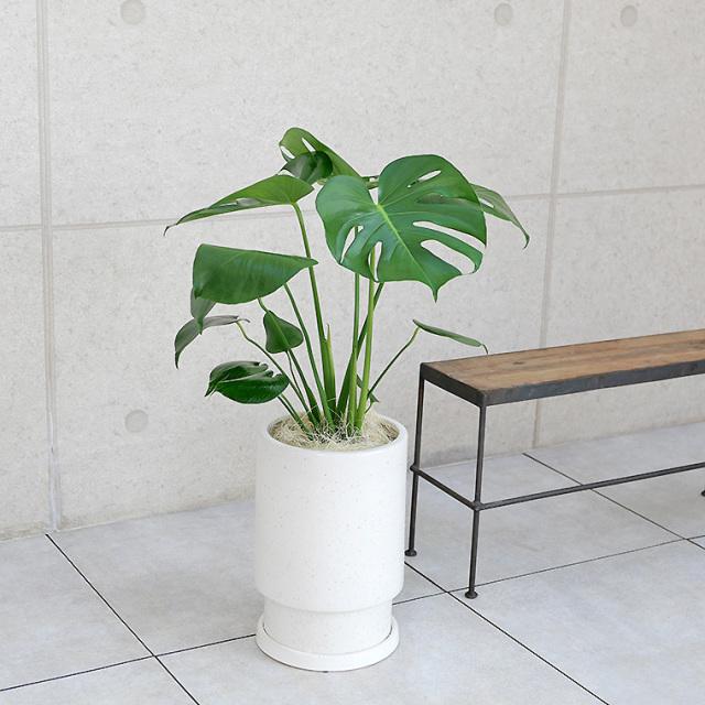 モンステラ 陶器鉢植え・Mサイズ(フロウ/トール)