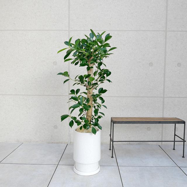 ガジュマル 陶器鉢植え・Mサイズ(フロウ/トール)
