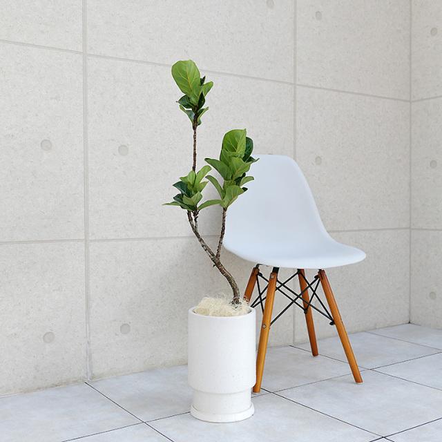 カシワバゴム 陶器鉢植え・Mサイズ(フロウ/トール)