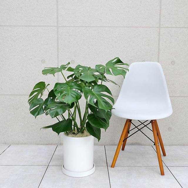 モンステラ 陶器鉢植え・Mサイズ(マットシリーズ/シリンダー)