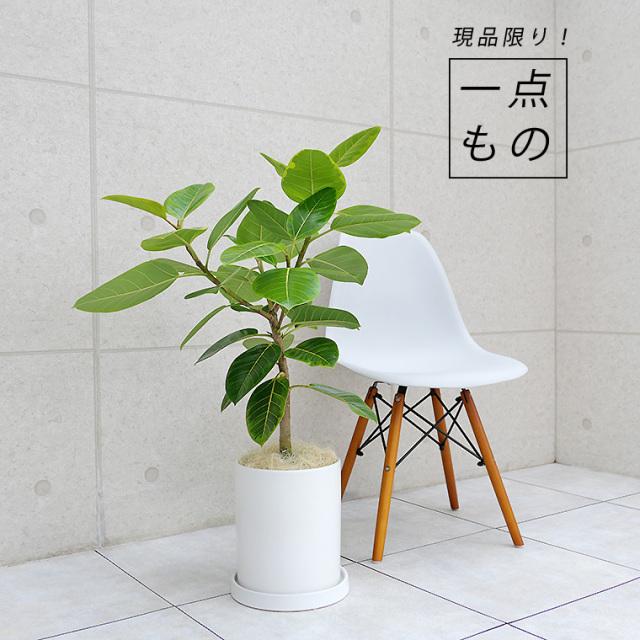 フィカス・アルテシーマ-011 陶器鉢植え・Mサイズ(マットシリーズ/シリンダー)