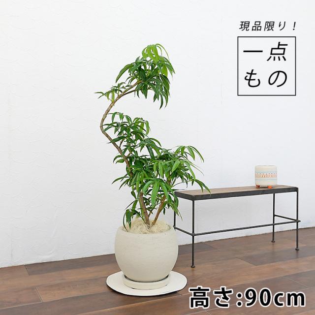 シェフレラ・アンガスティフォーリア-008 陶器鉢植え(カイト・ボール)