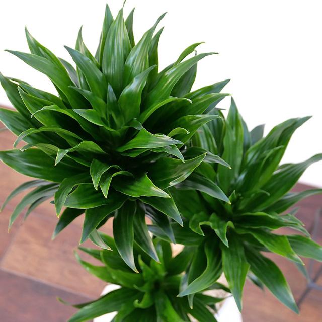 ドラセナ・コンパクタ 樹脂製鉢植え(12A20)