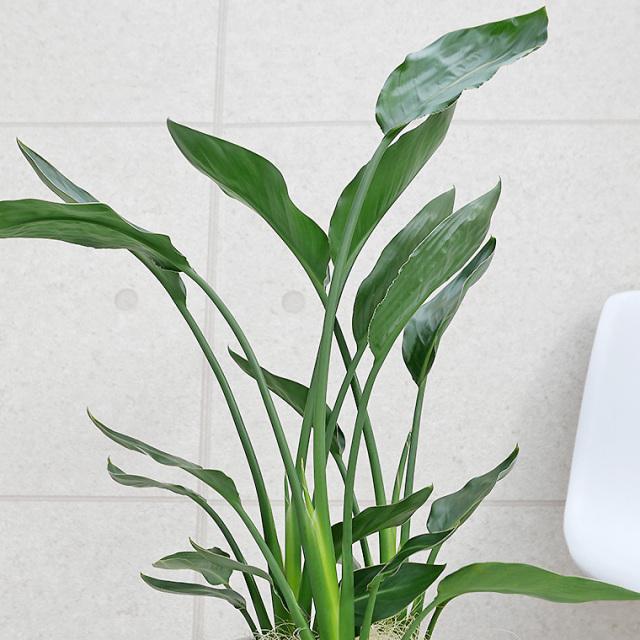 ストレチア・レギネ 葉の写真