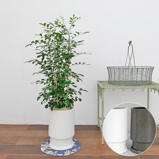 シルクジャスミン 陶器鉢植え・Mサイズ(フロウ/トール)