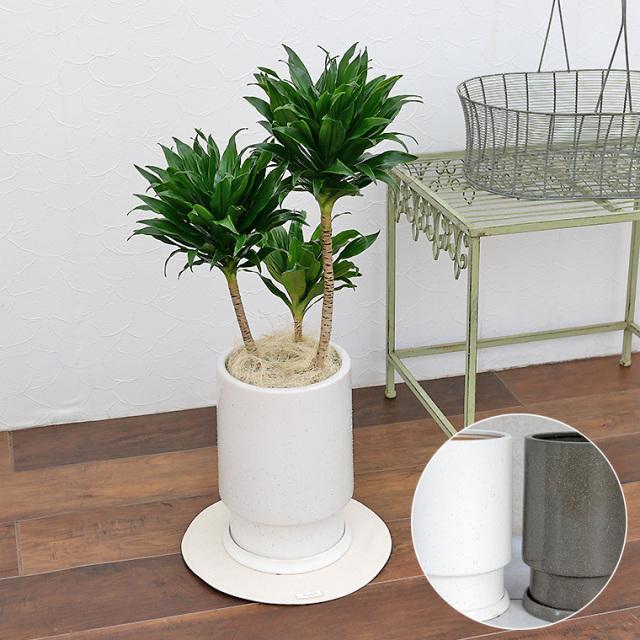 ドラセナ・コンパクタ 陶器鉢植え・Mサイズ(フロウ/トール)