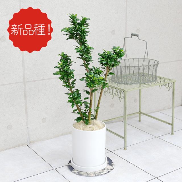 フィカス・ベビーリーフ 陶器鉢植え・Mサイズ(マットシリーズ/シリンダー)