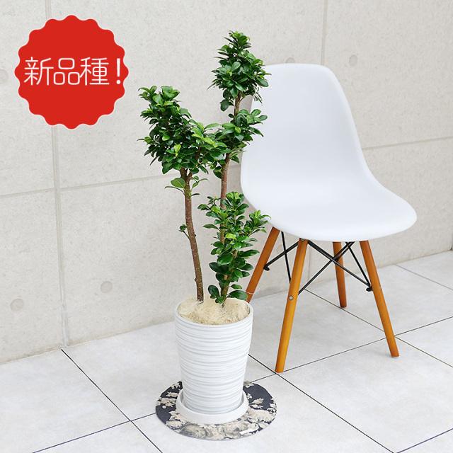 フィカス・ベビーリーフ 樹脂製鉢植え(12A20)