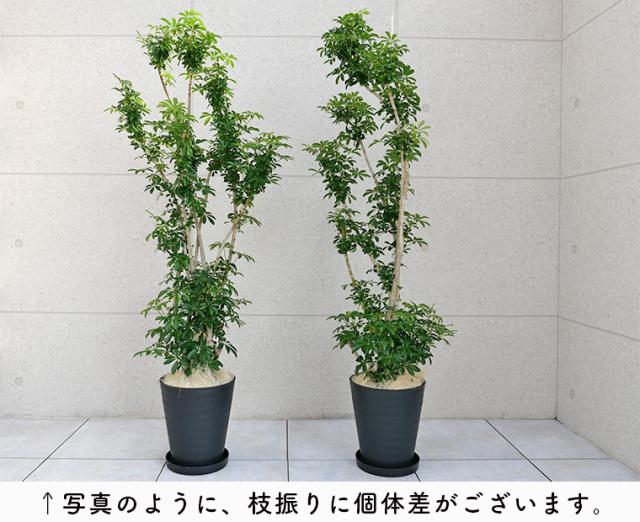 シェフレラ・コンパクタ 10号セラート鉢 個体差の写真