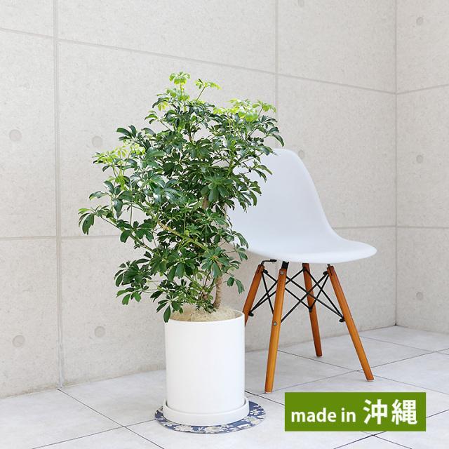 シェフレラ・レナータ(金魚葉ホンコン) 陶器鉢植え・Mサイズ(マットシリーズ/シリンダー)