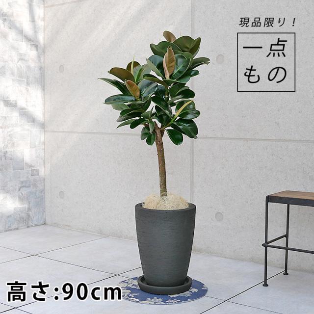 フィカス・ソフィア-016 陶器鉢植え(カイト・コニック)