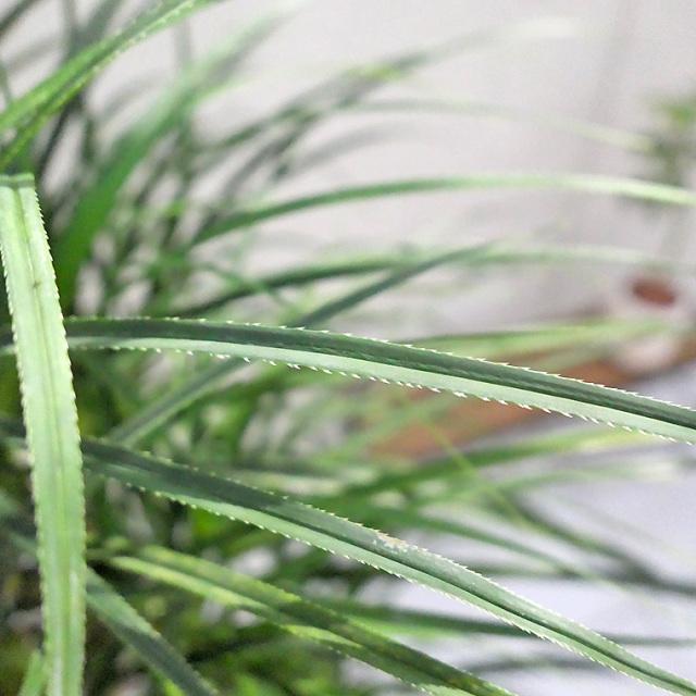 ヒメタコノキ(パンダナス) 葉の写真
