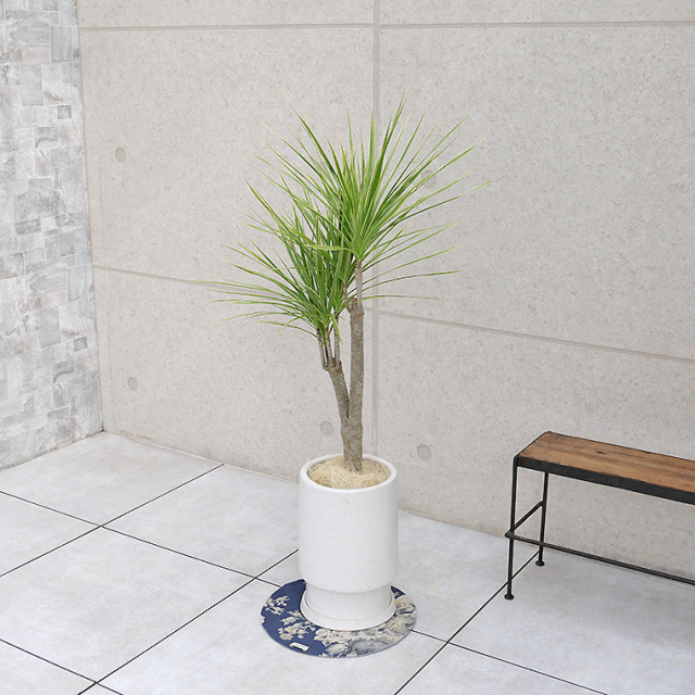 ドラセナ・コンシンネ ホワイボリー 陶器鉢植え・Mサイズ(フロウ/トール)