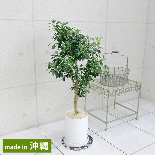 ガジュマル 陶器鉢植え・Mサイズ(マットシリーズ/シリンダー)