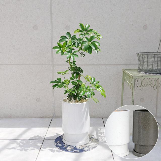シェフレラ・レナータ(金魚葉ホンコン) 陶器鉢植え・Mサイズ(フロウ/トール)