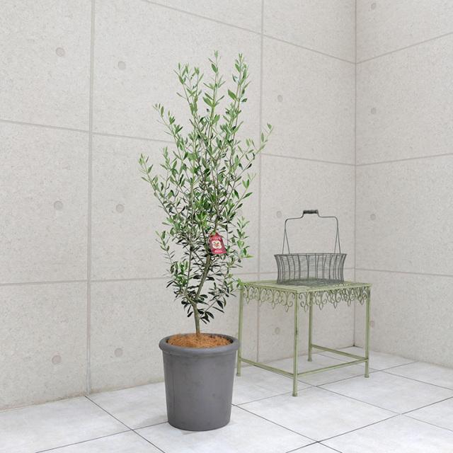 オリーブ・エルグレコ 鉢植え・Lサイズ(シンプルリム/グレー)
