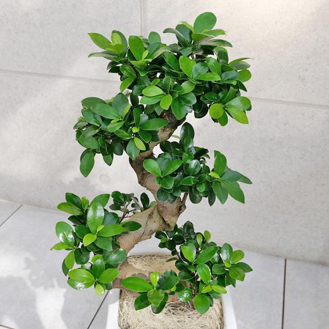 ガジュマル(多幸の樹)曲がり 樹形のの写真