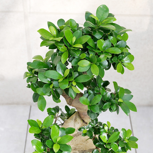 ガジュマル(多幸の樹)曲がり 葉の写真