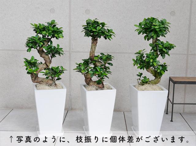 ガジュマル(多幸の樹)曲がり 個体差の写真