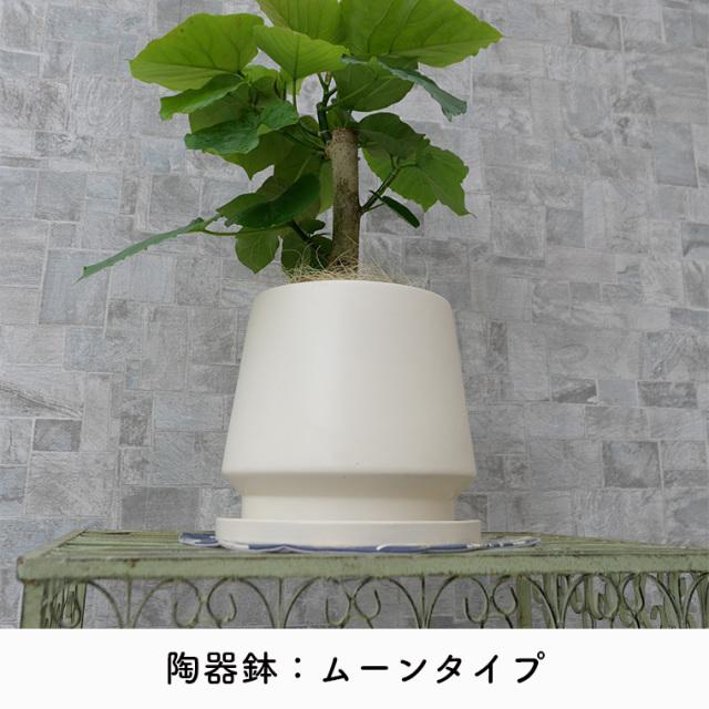 フィカス・ウンベラータ 陶器鉢のタイプ