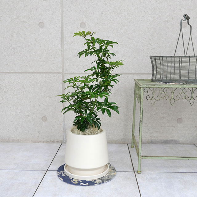 シェフレラ・コンパクタ 陶器鉢植え・Mサイズ(マットシリーズ/モルティ)