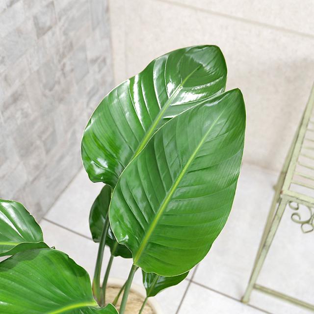 オーガスタ 葉の写真