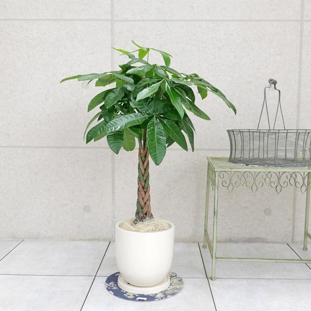パキラ 陶器鉢植え・Mサイズ(マットシリーズ/シェッド)