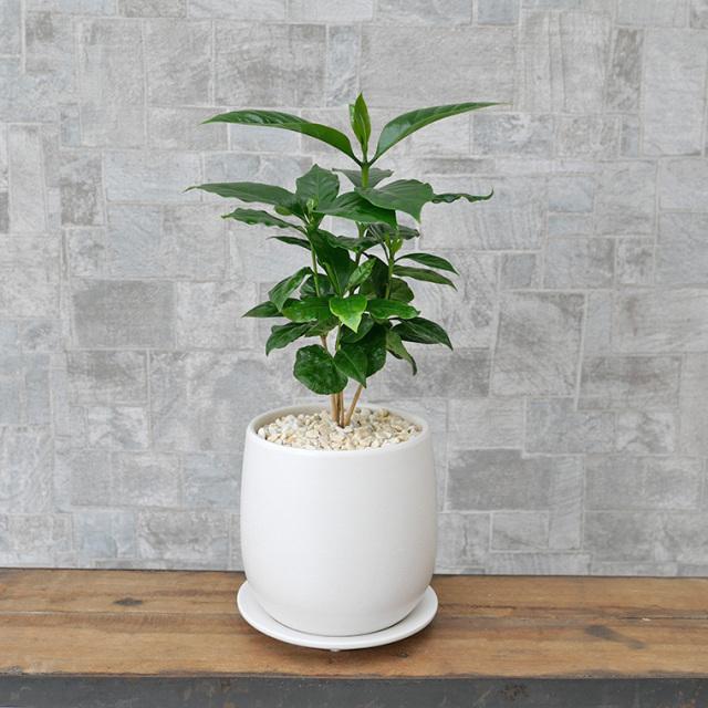 コーヒーの木 陶器鉢植え・Sサイズ(マットシリーズ/ボール)