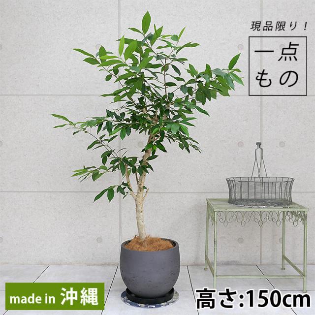 アマゾンオリーブ-002 ファイバーセメント製鉢植え